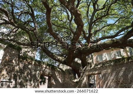 Live oak reaching over wall