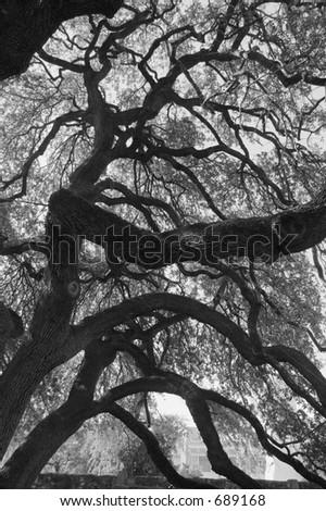 Live Oak Tree at the Alamo