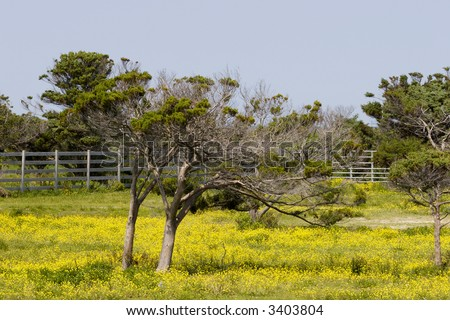 Live Oak Trees in a Pasture with Yellow Wildflowers Evergreen Oak in North and South Carolina