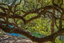 Live Oak Trees stretching over blue water lake