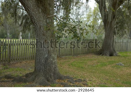 Live oaks along a country fence, with dried moss hanging from them