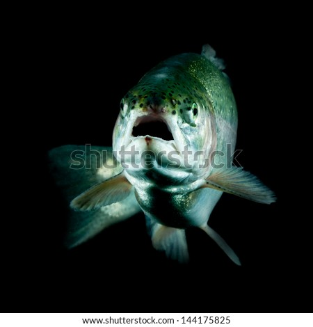 Live trout underwater, studio shot