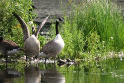 Lively group of Goose by the water in green lush spring lake