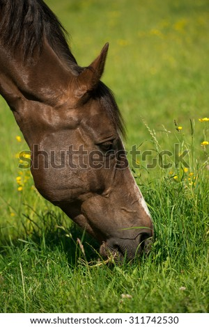 Liver chestnut horse with a white stripe, in a green grass field with yellow flowers and blue sky, eating some grass. #311742530
