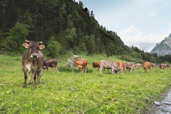 Livestock cows explotation in spanish mountains