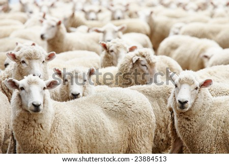 stock photo : Livestock farm, herd of sheep