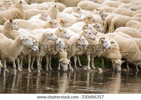 Livestock farm - herd of sheep