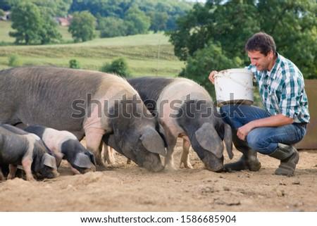 Livestock Farmer Feeding Pigs In Field