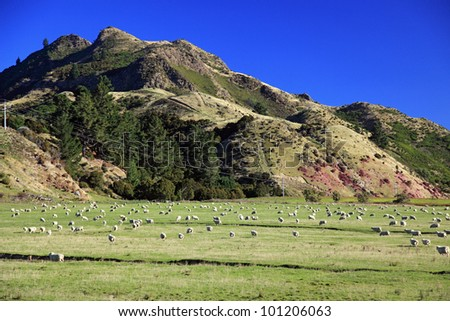 Livestock field landscape in South island, New zealand