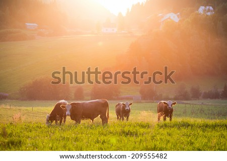 Livestock grazing during sunset in an idyllic valley, sweden #209555482