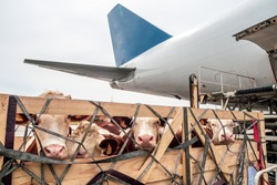Livestock in wooden boxes secured by nettings being offloaded by a high-loader from the lower cargo hold of a Jumbo Jet freighter aircraft
