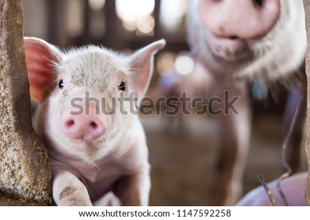 Livestock industry of small funny piglet in swine farm, Meat business #1147592258