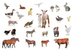 livestock isolated on white background