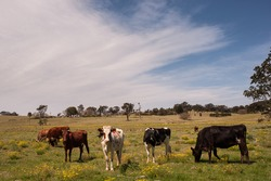 Livestock on a rural farm in country NSW, Australia