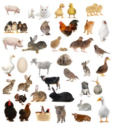 livestock; on a white background