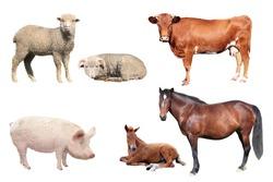 livestock on a white background