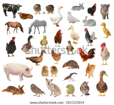 livestock on a white background on white background