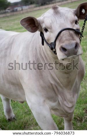 Livestock Show Steer #796036873