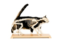 Living cat behind a cat skeleton, isolated on white