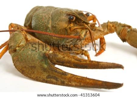 Living  crawfish close-up on white background