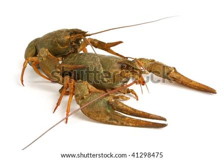 Living  crawfishes close-up on white background