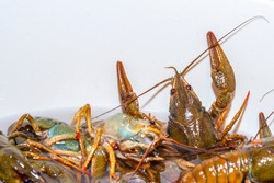 Living crayfish in water. Caught crayfish are washed in clean water. Crayfish trying to get out of the water tank