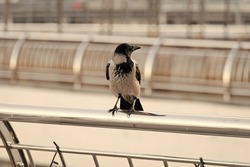 Living in urban jungles. Black crow sit railing searching food. Large urban crow pacing aluminum fence defocused background. Bird in big city. Symbol of bad luck and death. Symbolizes intelligence