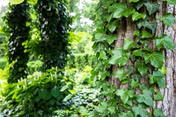 living wall background with evergreen curly ivy leaves along a tree trunk in a park close up with copy space, nobody.