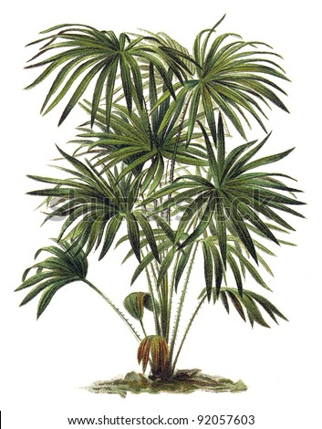 Livistona (Corypha) australis - Cabbage-tree Palm / Vintage illustration from Meyers Konversations-Lexikon 1897