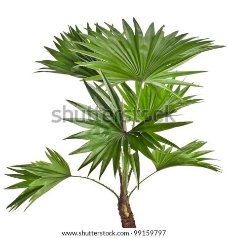 Livistona Rotundifolia palm tree isolated on white
