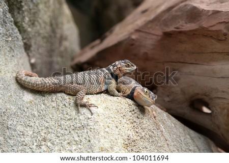 lizard 21