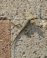 Lizard. A Brown grey lizard on a stone. Very beautiful and small lizard. Disguise animal. Camouflaged animal.