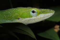 Lizard Anolis Carolinensis Found in Dallas Texas on Tree Macro Closeup of Head with Nice Eyes