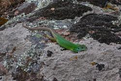 Lizard at Aktovsky Canyon, Kherson Region, Ukraine