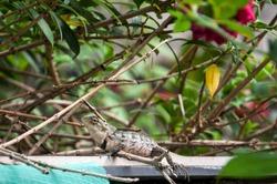 Lizard at home garden Sri Lanka
