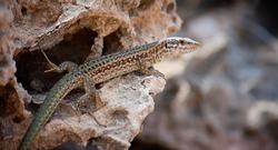 Lizard at Ibiza, close-up view. Fauna of Ibiza. Popular animals of Ibiza.
