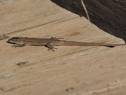 lizard basking in the sun on wooden boards, brown tones, gray below the head, small eyes, four legs with five toes on each foot, ivars lake, vila sana, lerida, spain