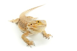 Lizard Bearded dragon is posing on white background.