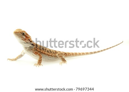 Lizard Bearded Dragon, this one known as Sandfire, macro focused on eyes
