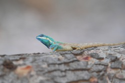 Lizard (Blue-crested Lizard) on the tree in tropical rain forest.