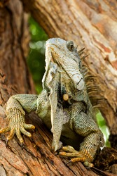 lizard claw pet iguana massive masculine iguana in his natural habitat lizard claw pet iguana eye wildlife colour brown animal plant vegetation nature outdoor female nail family ecuador nose jungle re