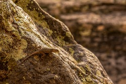 Lizard Climbing on a Rock in the Zion National Park