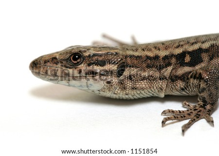 Lizard close-up on a white background