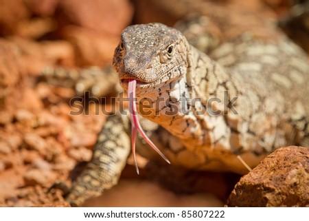 Lizard, Cravens Peak, Australia