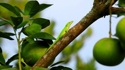 Lizard,  (disambiguation) anole lizard, American green anole.red-throated anole