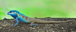 Lizard,dragon , Chameleon , Blue-crested Lizard ,Calotes mystaceus, Indo-Chinese crested blue lizard perching on tree with blur green background