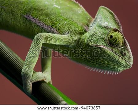 Lizard families, Chameleon