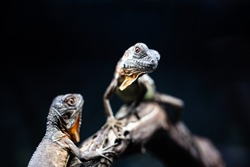Lizard families together couple tree is looking to the future cute dof sharp focus space for text macro reptile jungle aquarium home pet