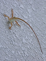 Lizard hanging on white wall, Maldives. Legs stretched, looking curiously.
