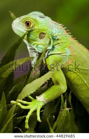 Lizard - iguana